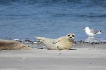 Yoga-Seehund