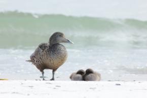 Eiderenten-Familie