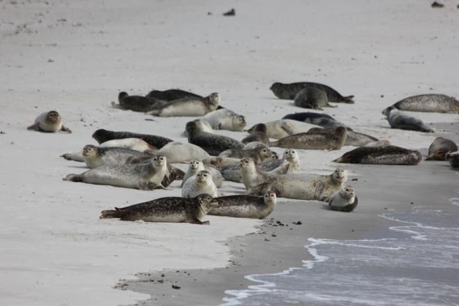 Robben auf der Düne (Helgoland).