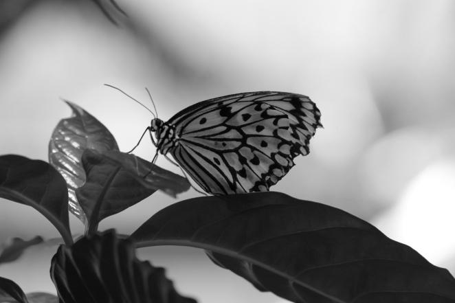 Schmetterling (Wilhelma)